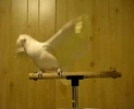 Papouch tanečník