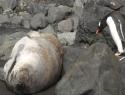 Tučňák klikař