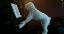 Pes hraje na piáno a zpívá k tomu