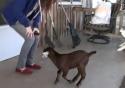 Jak naučit skákat kozu