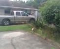 Odvážný ptáček zlobí kočku