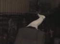 Trsající papoušek