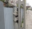 Šplhající pes