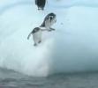 Tučňáci a ledová kra