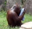 Chytrý orangutan s ručníkem