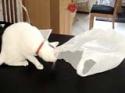 Kočka vs. igelitová taška