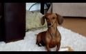Smějící se pes