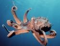 Chobotnice vs. Žralok