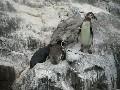 Tučňák potvora