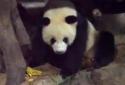 Spící panda