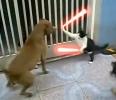 Jedi kočka vs pitbul