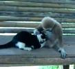 Opičák úchylák