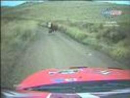 Rally - srážka s krávou