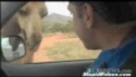 Hladový velbloud