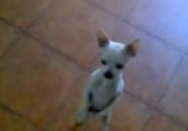 Tančící pes