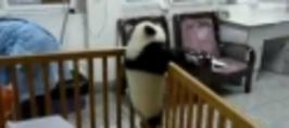 Zdrhající panda