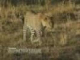 Gepard v přírodě