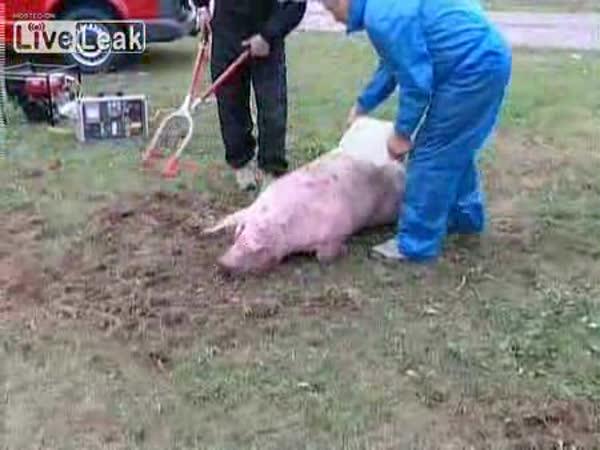 Hradcem Králové - prasata na silnice