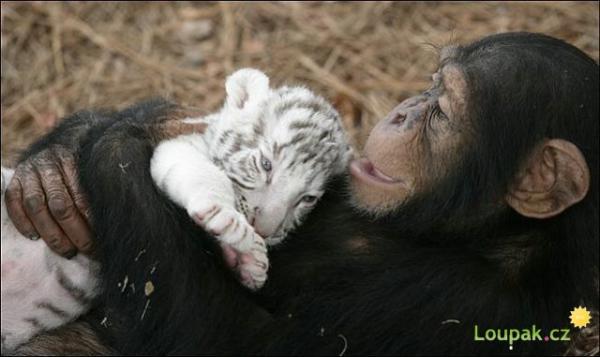 Opička a 2 tygříci