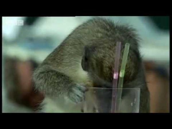 Dokument BBC - Opice a alkohol