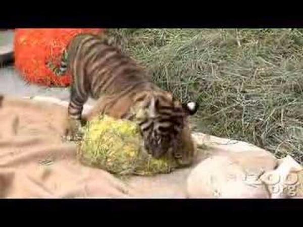 Roztomilé tygří mládě