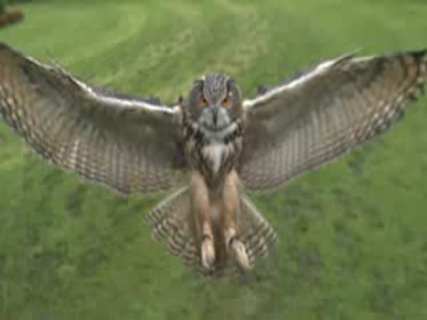 Slow motion - sova a přistání