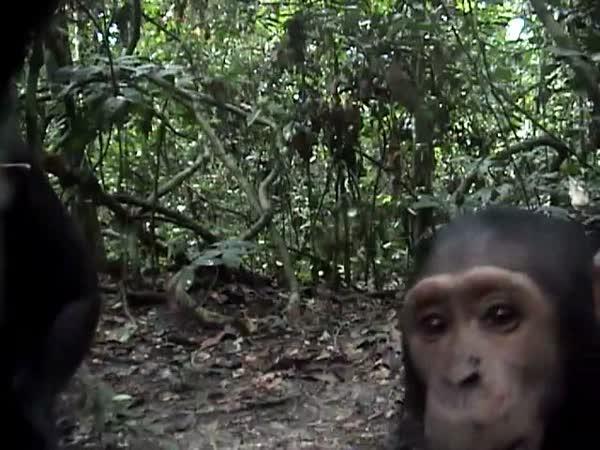 Zvědavý šimpanz a kamera