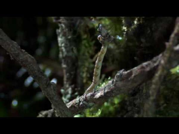 Hawajská masožravka