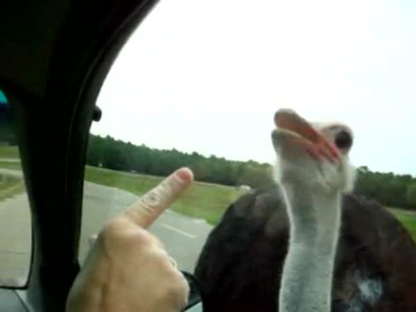 Pštros a okénko u auta