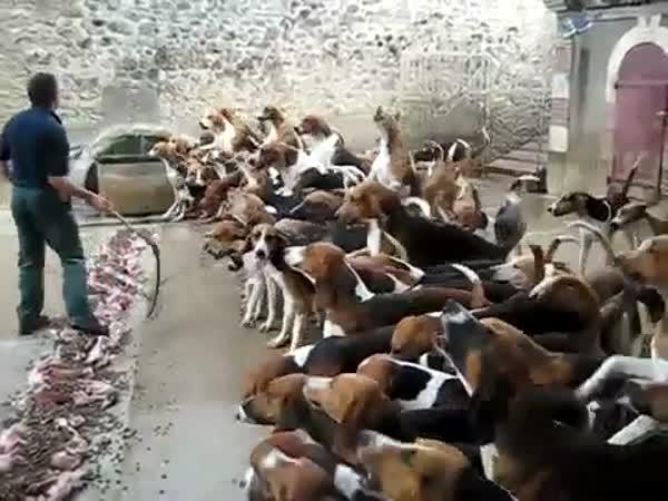 Jak se krmí hladoví psi