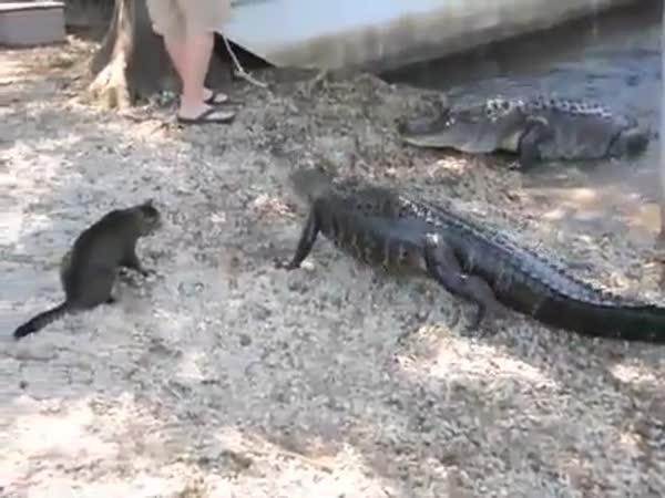 Kočka šikanuje aligátora
