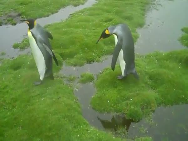 Tučňáci mají dilema