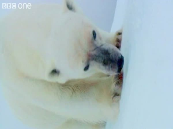 Lední medvědi - špionážní kamera