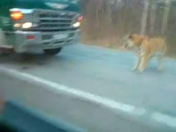 Tygr zablokuje dopravu