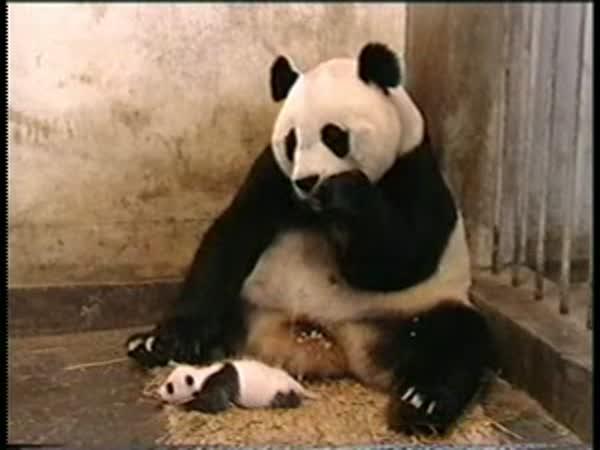 Když si Panda kýchne