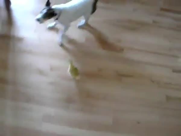 Kuře vs. pes