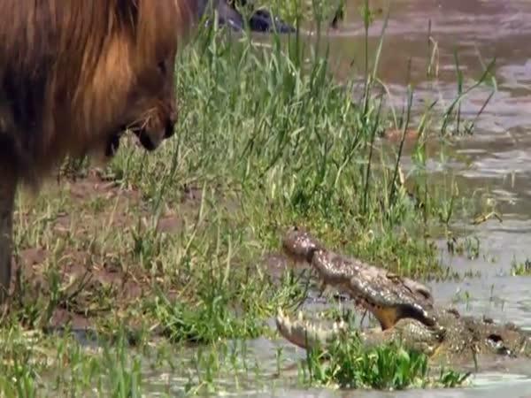 Lev vs. krokodýl