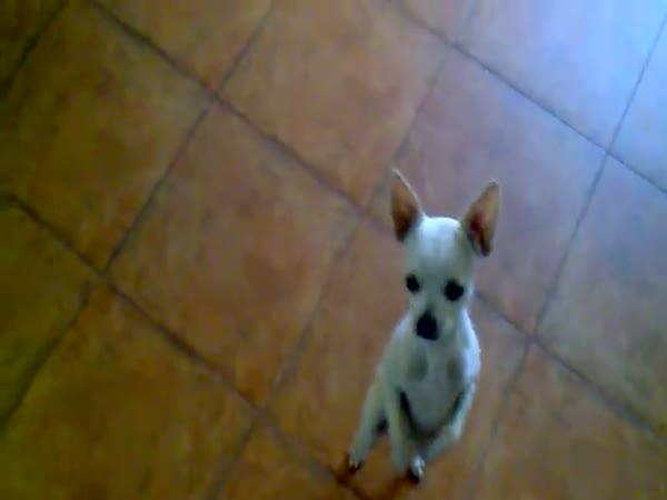 Pes tancuje salsu