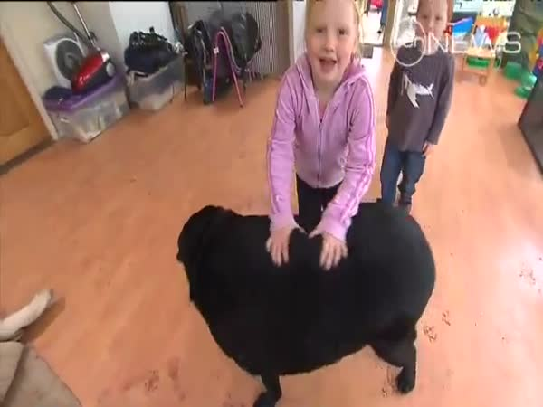 85 kilový labrador