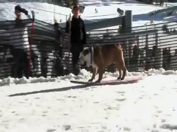 Bulldog sportovec