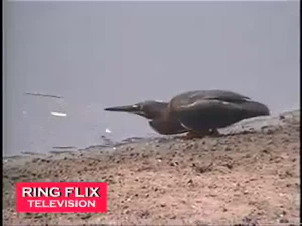 Pták co umí rybařit