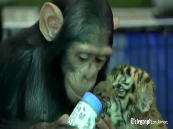 Šimpanzí chůva krmí mládě tygra