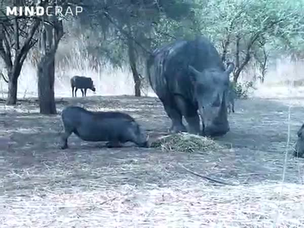 Nosorožec vs. prase