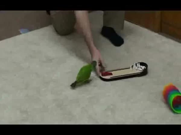 Papoušek rekordman