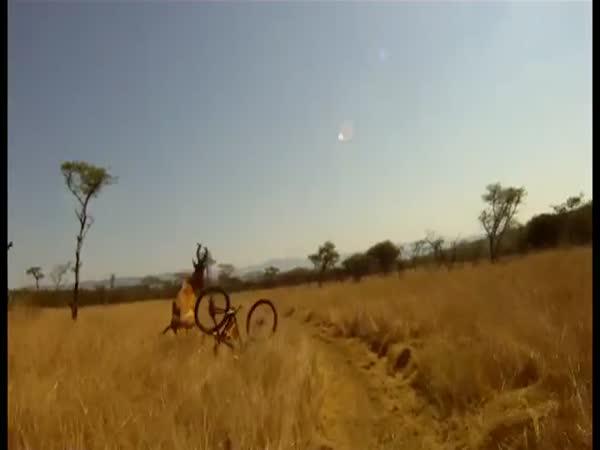Jelen a cyklista