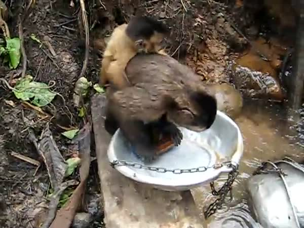 Opice myje nádobí