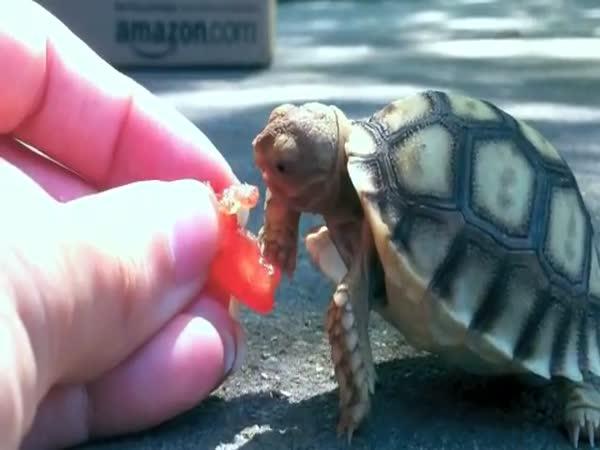 Opilá želva