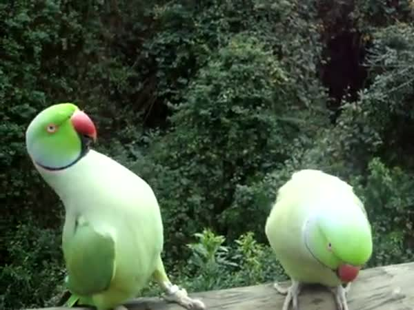 Papouškování