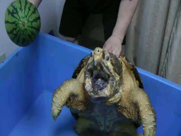 Obří želva vs. meloun