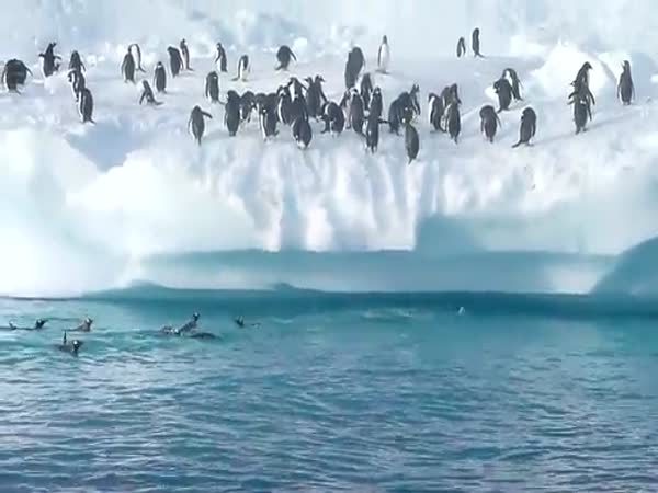 Skákající tučnáci